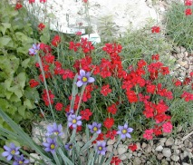 Dianthus and Sisyrinchium
