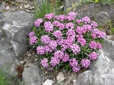 Daphne cneorum 'Eximia'