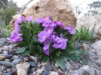 Primrose marginata 'Herb Dickson'